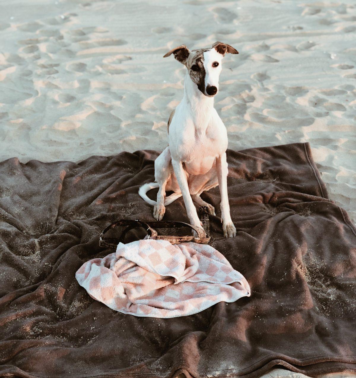 z psem nad morze whippet